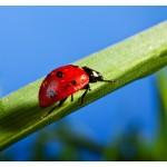 Marienkäfer bergauf auf Gras